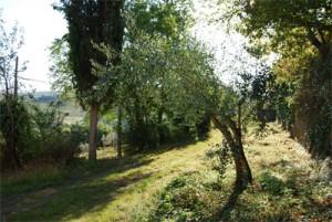 olivtrad